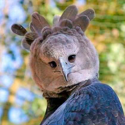 harpy-eagle-size