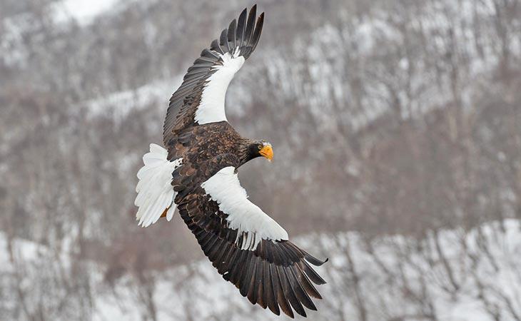 Steller's Eagle the second largest eagle.