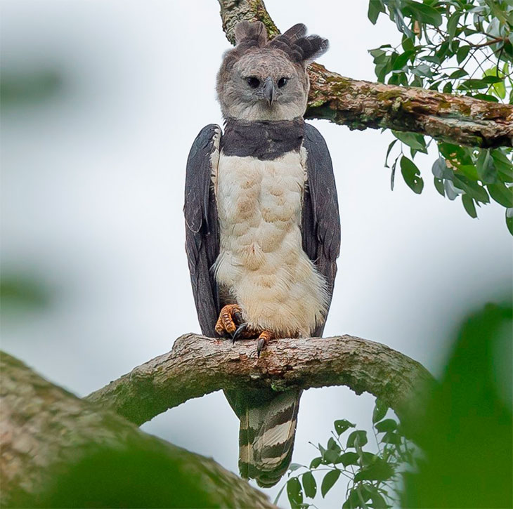 Female Harpy Eagle is the the world's largest eagle.