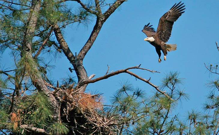 eagle arriving at the nest