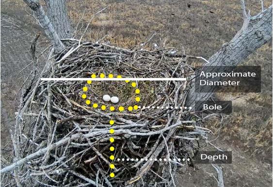 basic measures of  bald eagle nest