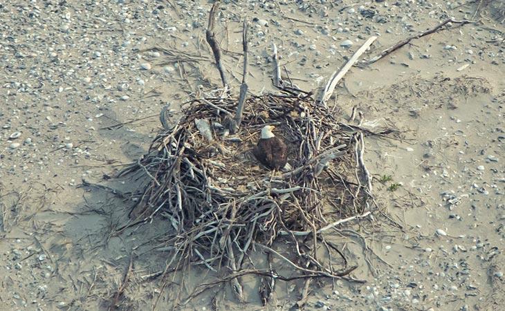 bald eagle incubating eggs on a beach nest.