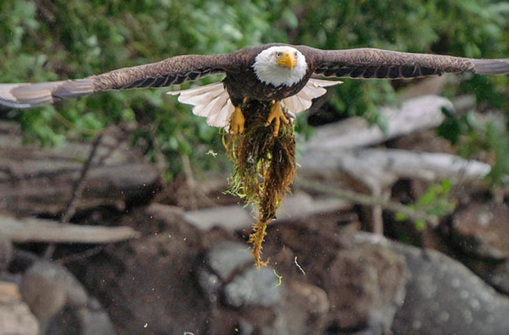 adult bald eagle bring nesting material