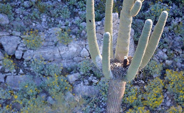 bald eagles nesting on saguaro cactus