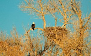 bald eagle perched near nest