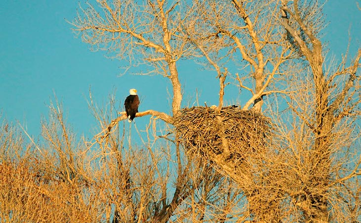 bald eagle nest with the right branch configuration