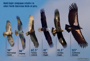 bald eagle wingspan versus birds of prey