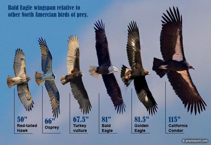 bald eagle wingspan versus birds of prey