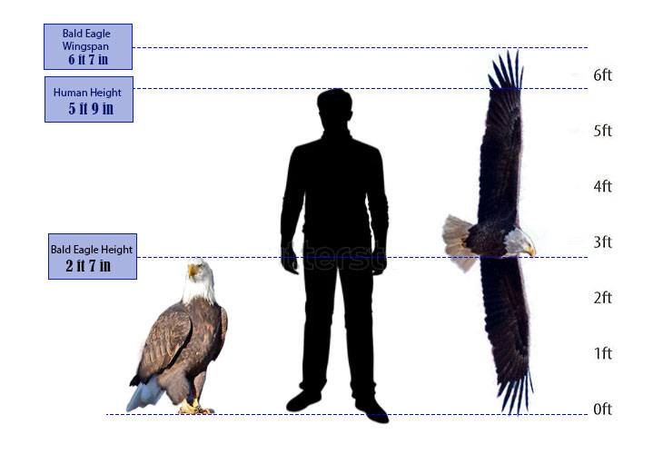 what is the bald eagle size