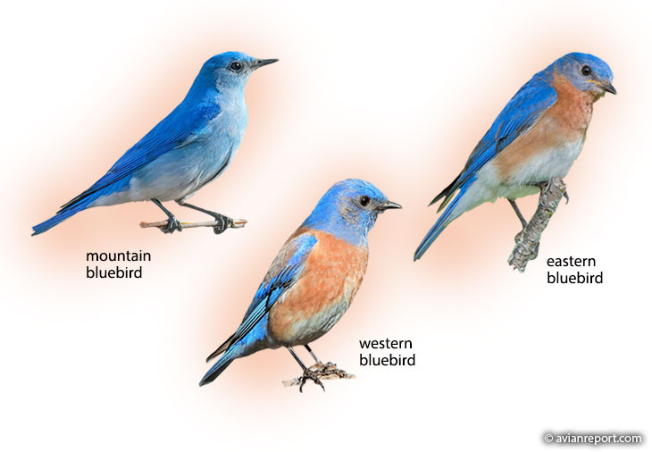 north-american-bluebirds