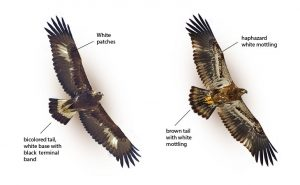 juvenile-immature golden and bald eagle soaring