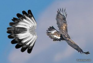 tail of a 3.5 to 5 year-old golden eagle