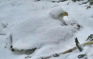 female bald eagle incubating