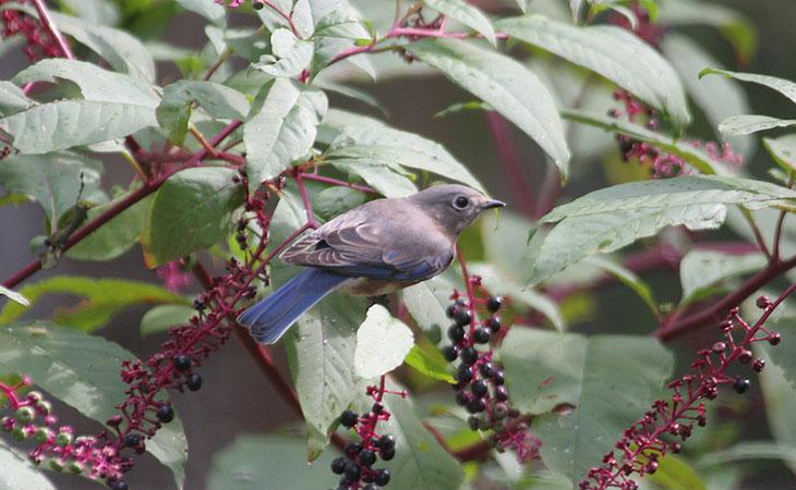 eastern bluebird eating berries