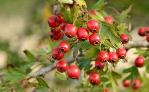hawthron berries food for eastern bluebirds