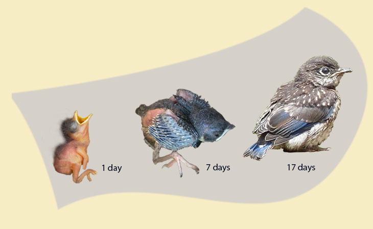 aging young bluebirds