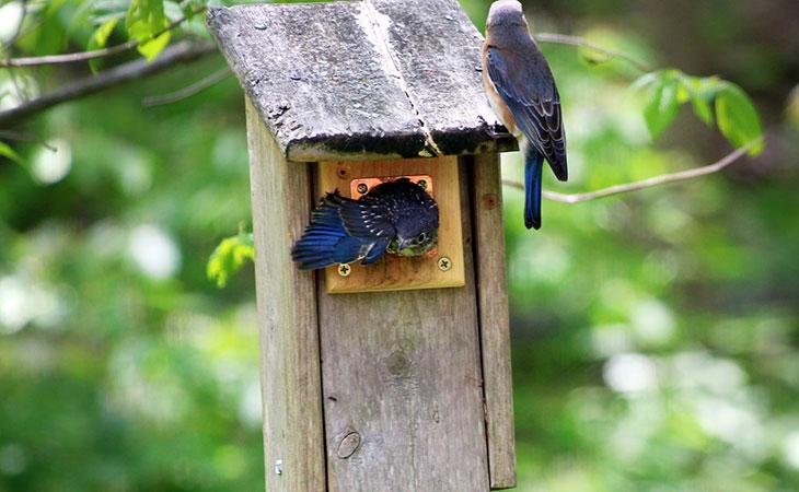 fledging bluebirds