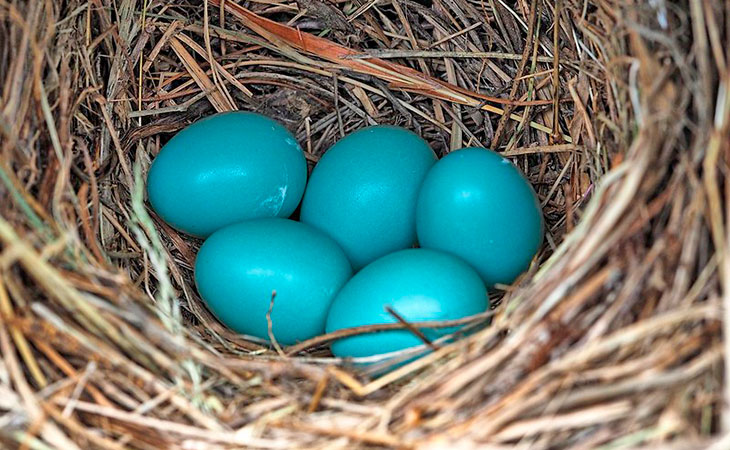 eastern bluebird blue-green eggs