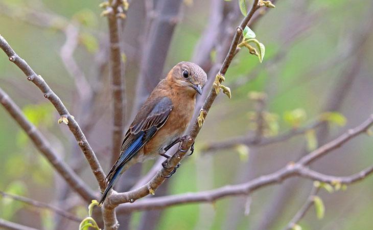 female_eastern-bluebird in Mexico