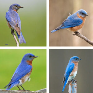 bluebirds bluer than othes