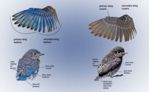 determine sex of young bluebirds by their plumage