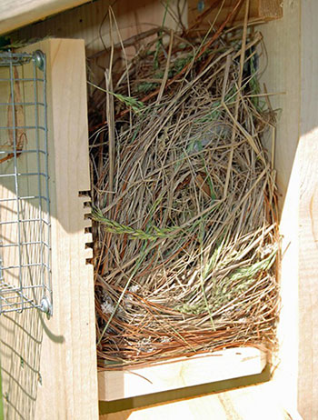 This image has an empty alt attribute; its file name is house-sparrow-nest-nesting-box_opt.jpg