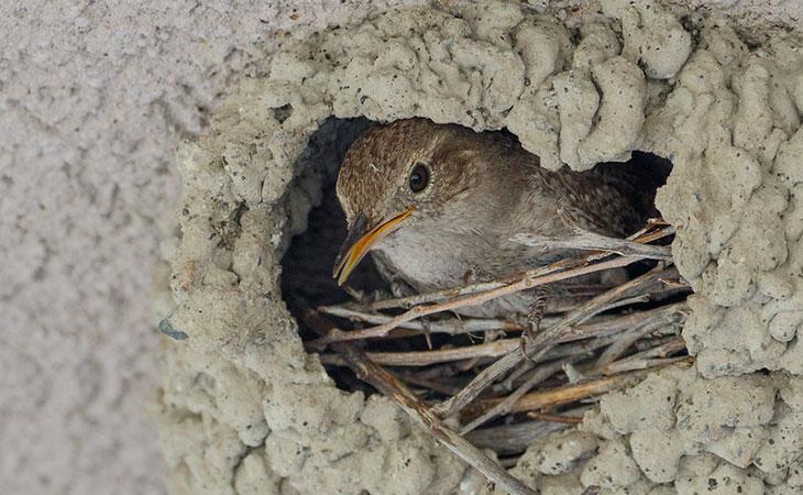 house wren nest and eggs